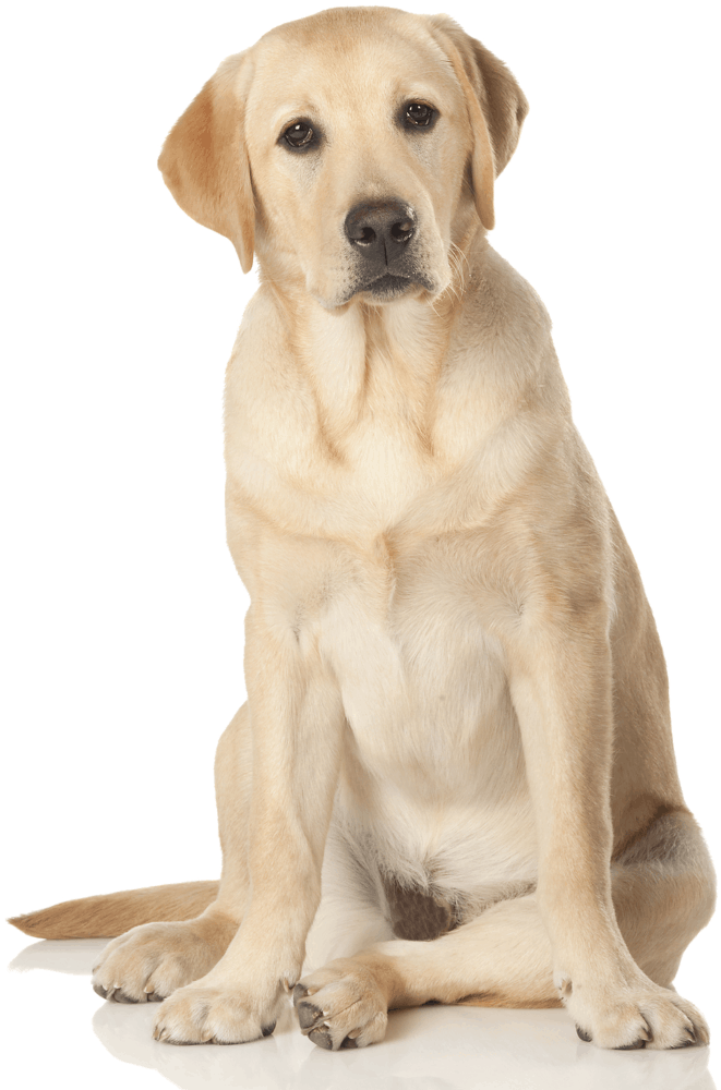 dog_lab_blonde